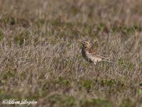 Grote Pieper Vogelreis Portugal