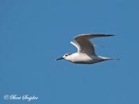 Grote Stern Vogelvakantie Portugal