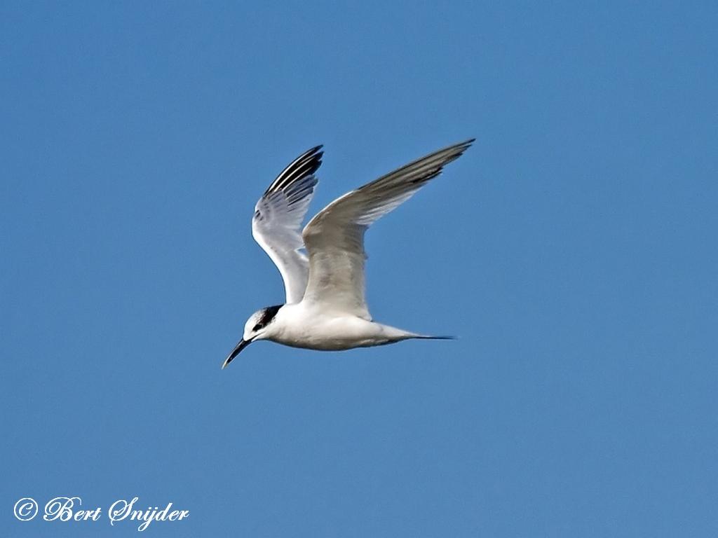 Grote Stern Vogelreis Portugal