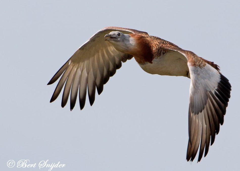 Grote Trap Vogelreis Portugal