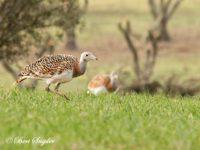 Grote Trap Vogelfotografie Reizen Portugal