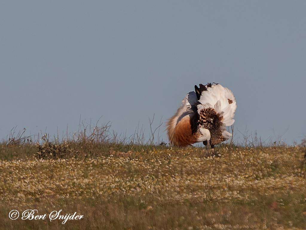 Grote Trap Vogelhut BSP7 Portugal