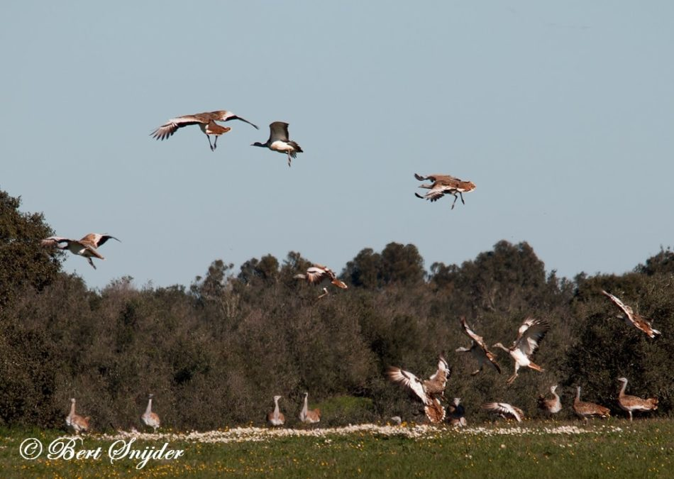Grote Trap Vogelhut BSP5 Portugal