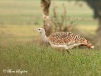 Grote Trap Vogelfotografie Reis Portugal