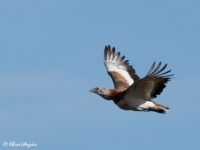 Grote Trap Vogelfotografiereis Portugal