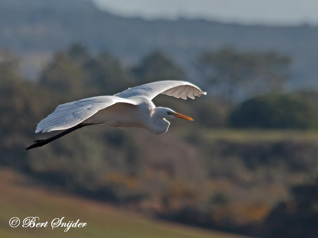 Grote Zilverreiger Vogelkijkhut BSP2 Portugal