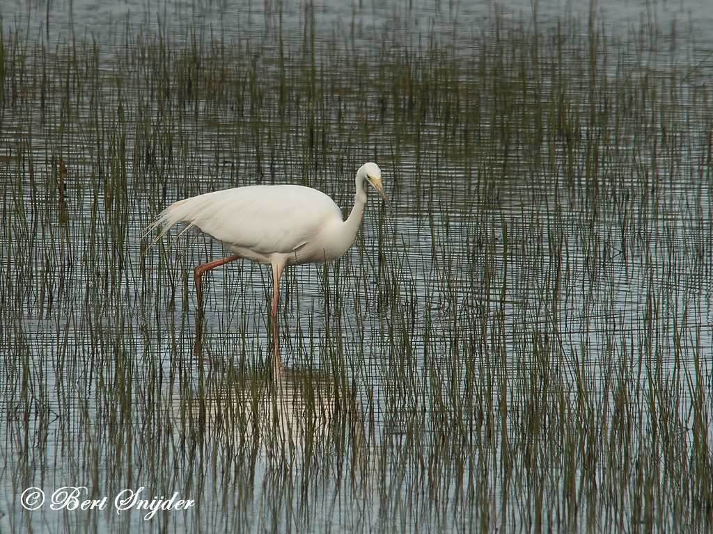 Grote Zilverreiger Vogelvakantie Portugal