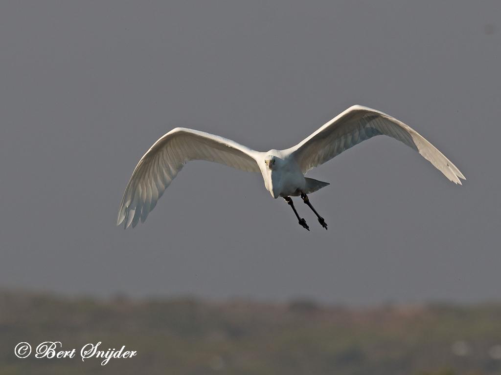 Grote Zilverreiger Vogelkijkhut BSP3 Portugal