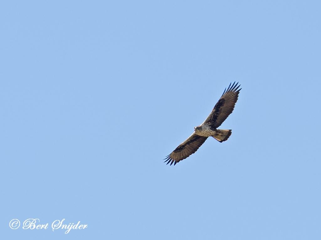 Havikarend Vogelvakantie Portugal