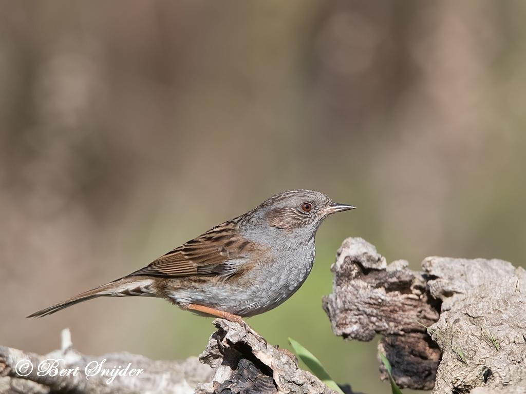 Heggenmus Vogels Portugal