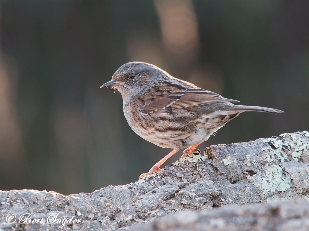 Heggenmus Vogelreis Portugal