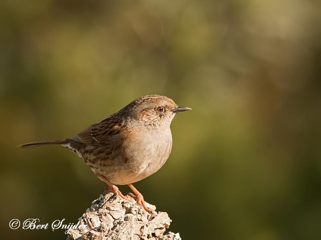 Heggenmus Vogelvakantie Portugal