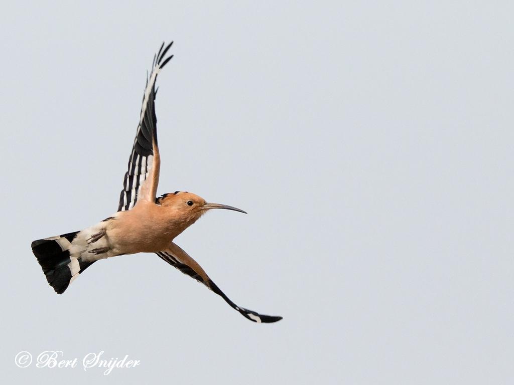 Hop Vogelhut Portugal