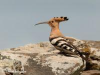 Hop Vogelfotografie reis Portugal