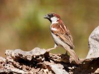 Huismus Vogelreis Portugal