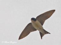 Huiszwaluw Vogelvakantie Portugal