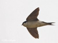Huiszwaluw Vogelreis Portugal