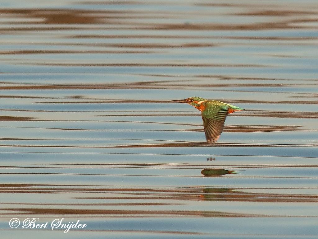 IJsvogel Vogelreis Portugal