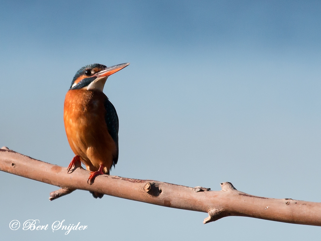 IJsvogel Vogelhut BSP3 Portugal