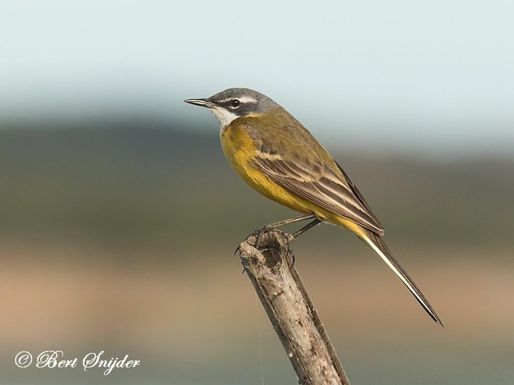 Witkeelkwikstaart Vogelvakantie Portugal