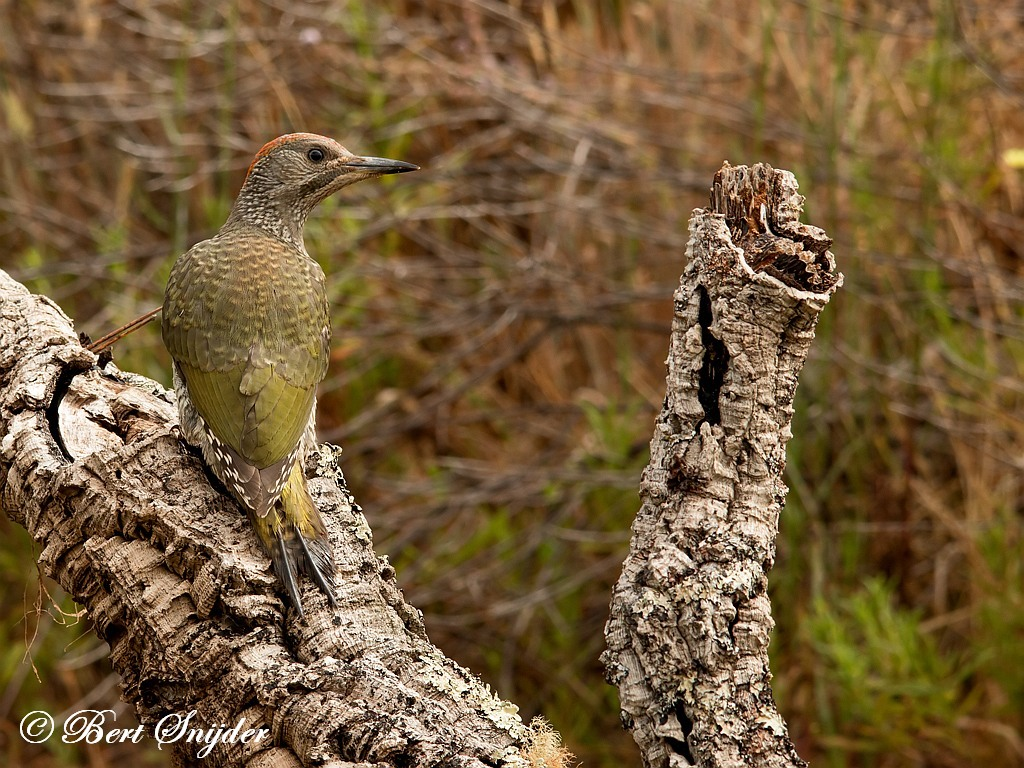 Iberische Groene Specht Vogelreis Portugal