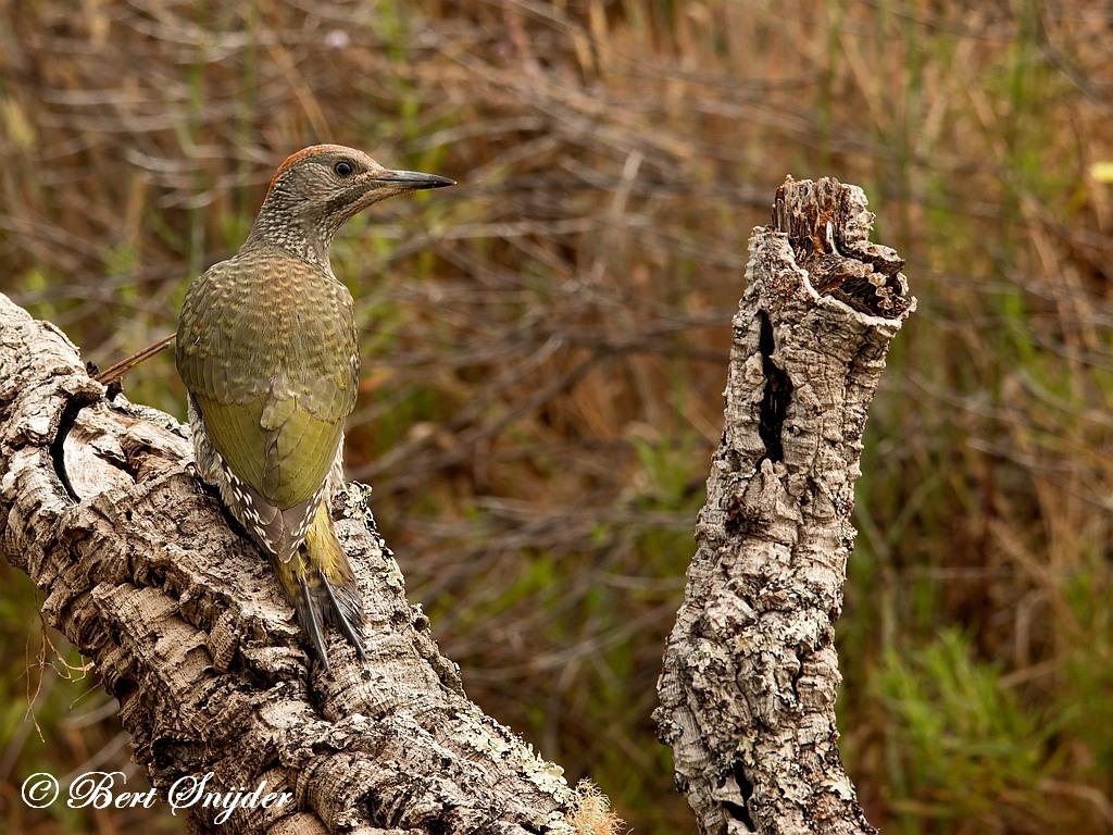 Iberische Groene Specht Vogelhut Portugal