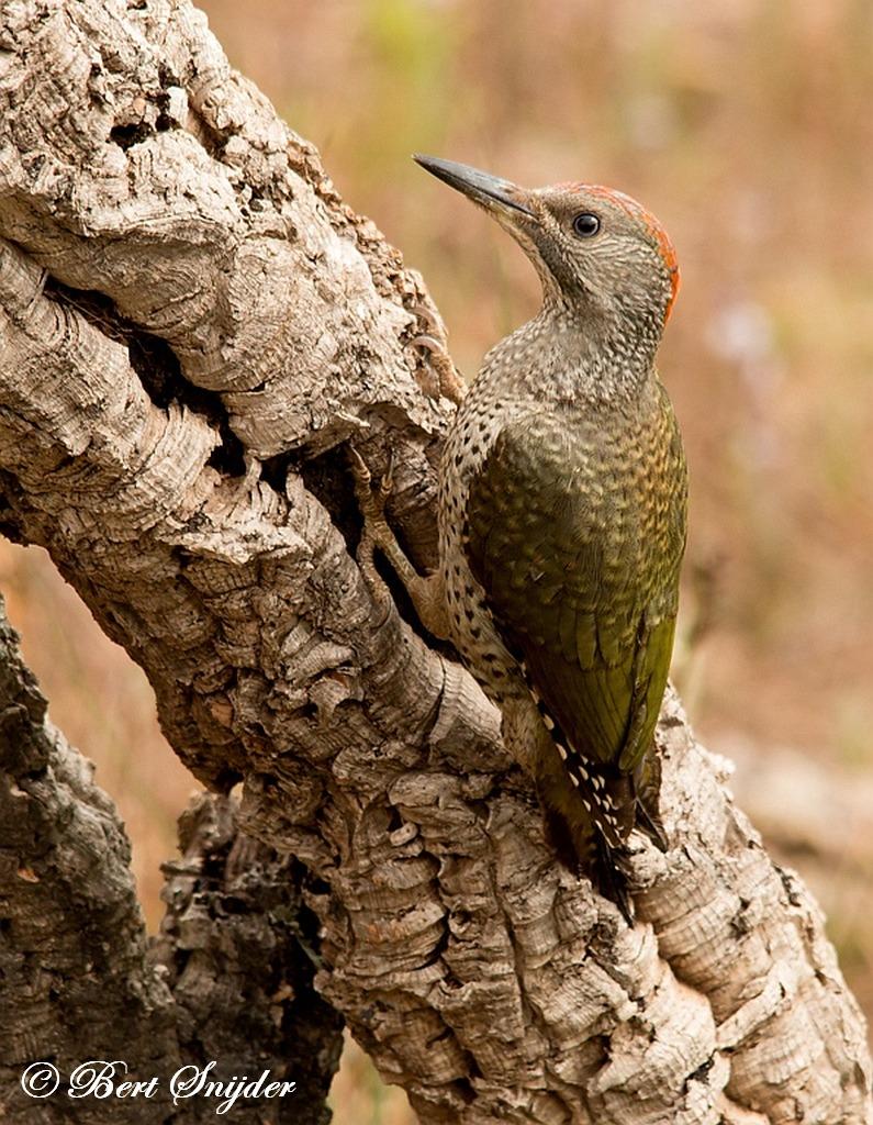 Iberische Groene Specht Vogelvakantie Portugal
