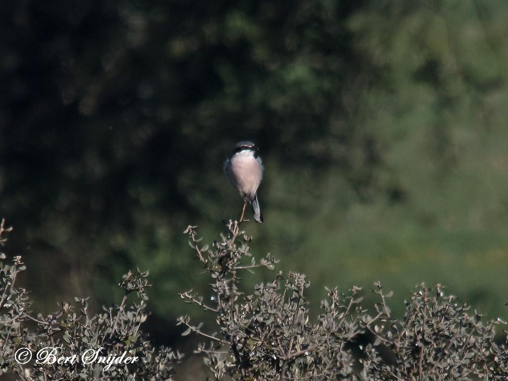 Iberische Klapekster Vogelhut BSP5 Portugal