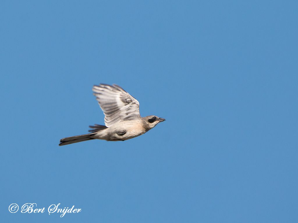 Iberische Klapekster Vogelkijkhut BSP3 Portugal