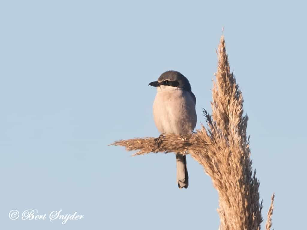Iberische Klapekster Vogelreis Portugal