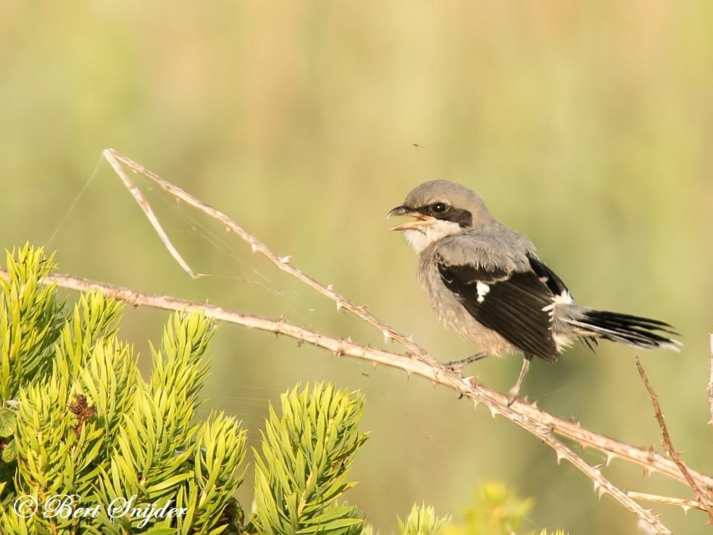 Iberische Klapekster Vogelvakantie Portugal