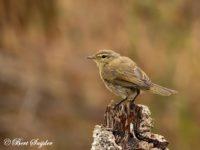 Iberische Tjiftjaf Vogelvakantie Portugal