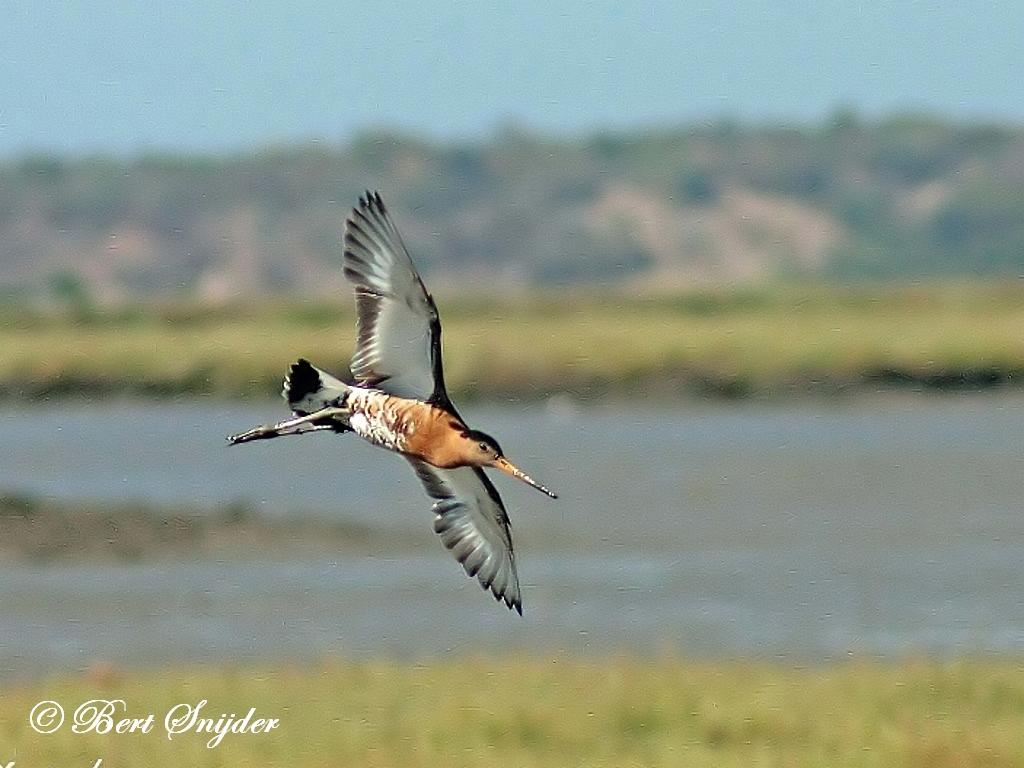 Ijslandse Grutto Vogelvakantie Portugal