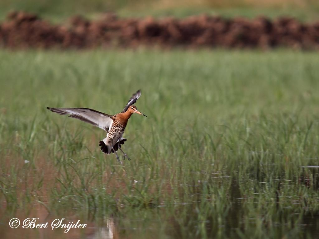 Ijslandse Grutto Vogelreis Portugal