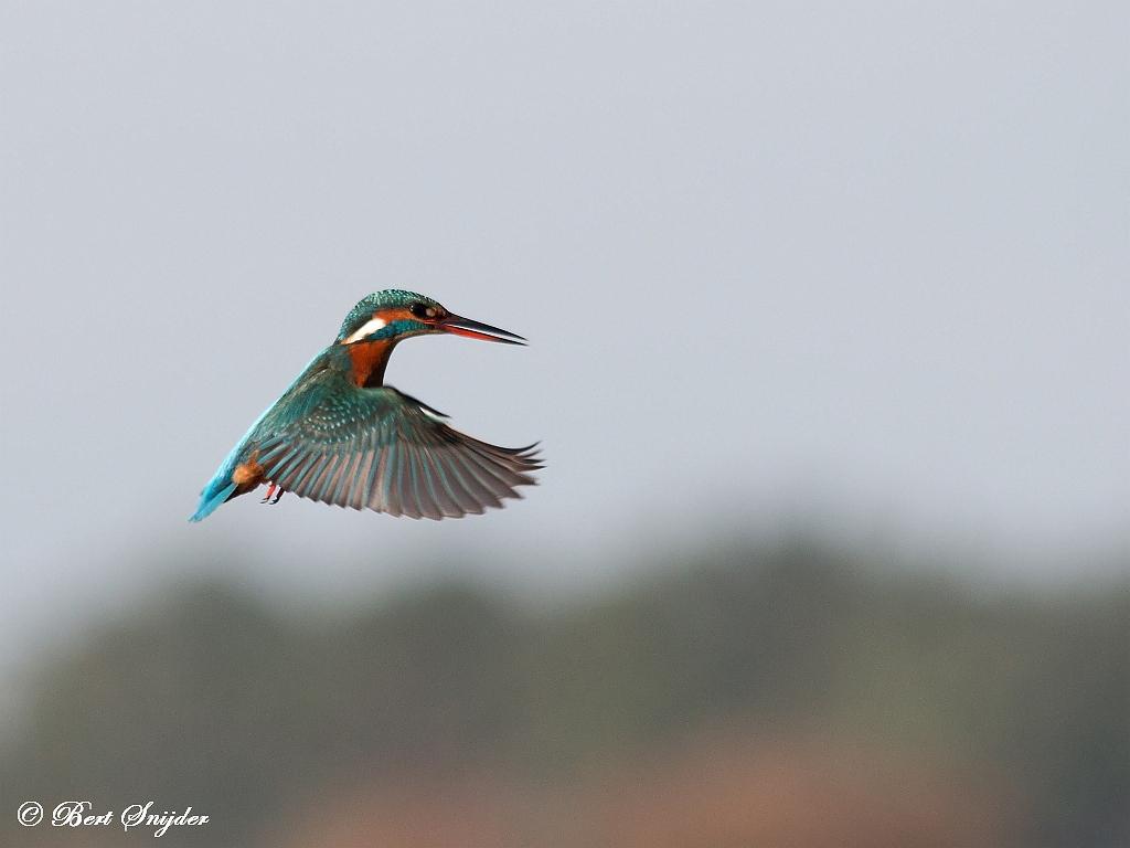 IJsvogel Vogelvakantie Portugal