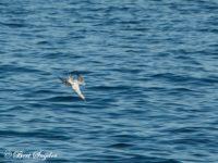 Jan-van-gent Vogelreis Portugal