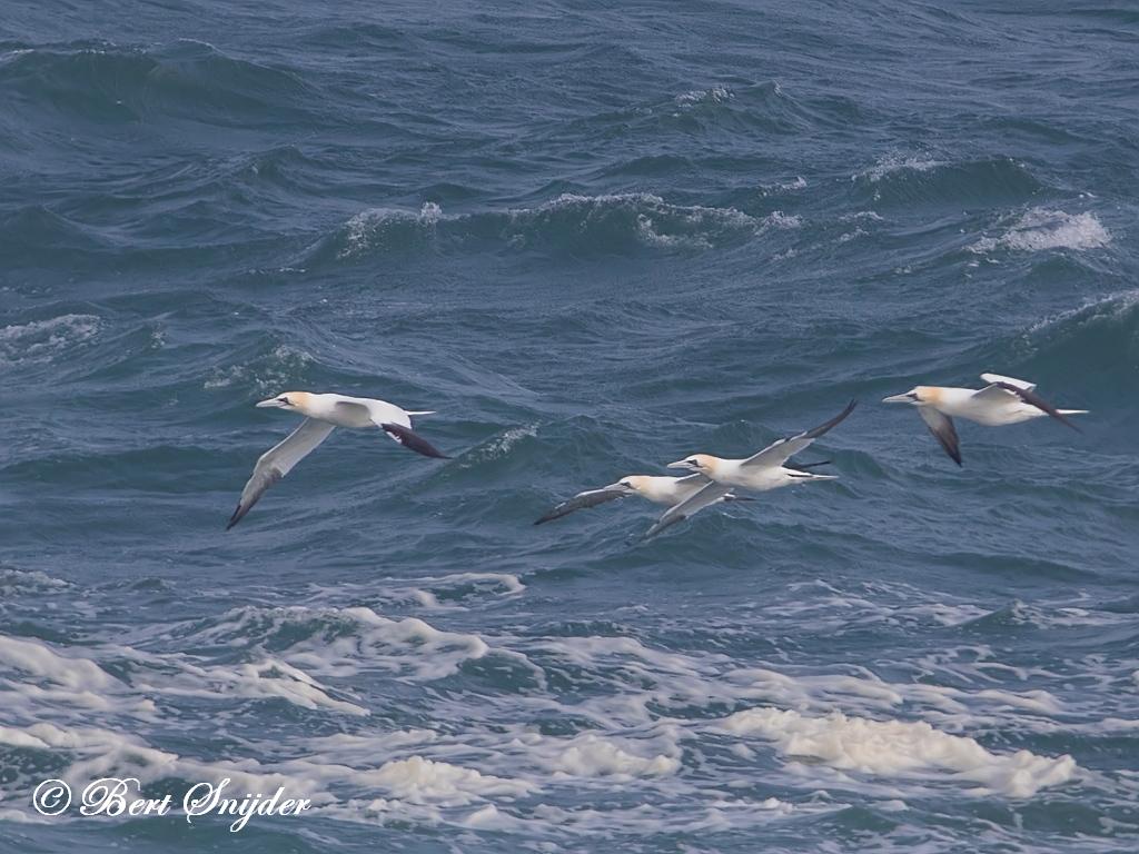 Jan-van-gent Vogelvakantie Portugal
