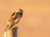Kalanderleeuwerik Vogelvakantie Portugal
