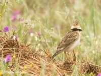 Kalanderleeuwerik Vogelreis Portugal