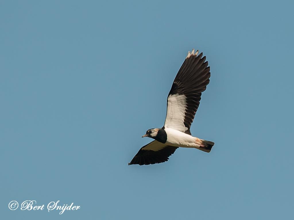 Kievit Vogelreis Portugal