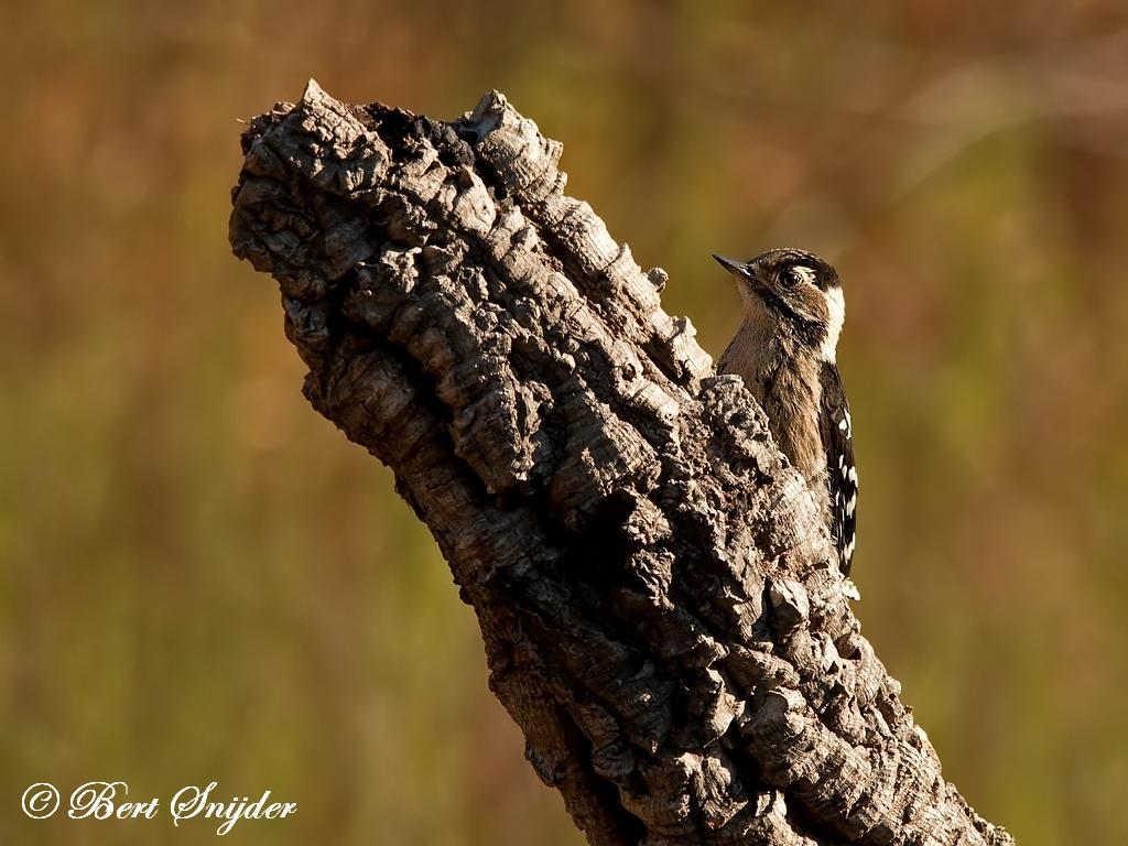 Kleine Bonte Specht Vogelreis Portugal