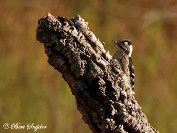 Kleine Bonte Specht Vogelhut Portugal