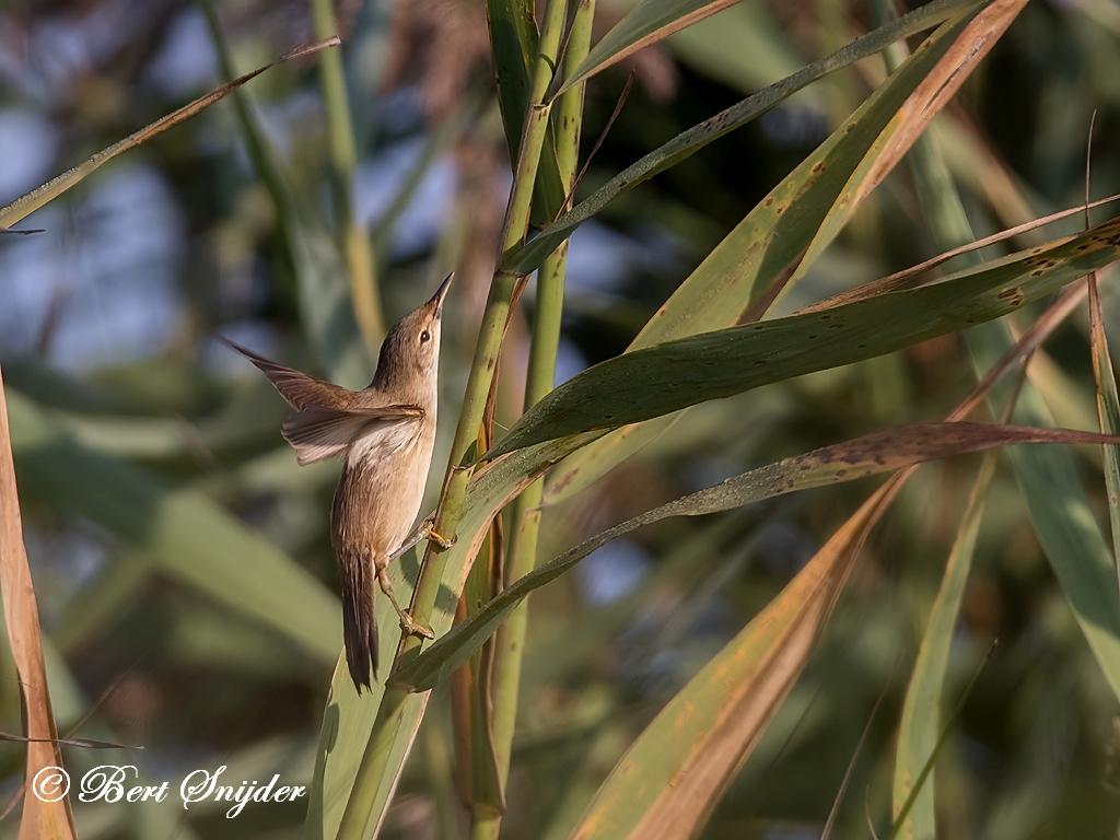Kleine Karekiet Vogelreis Portugal