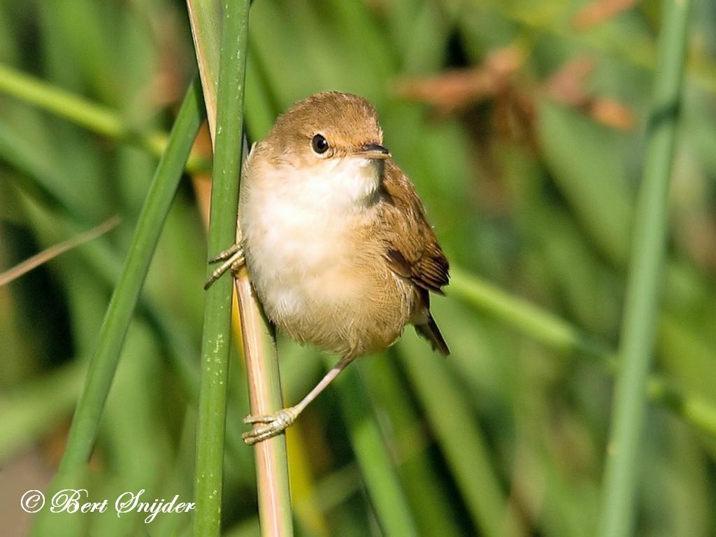 Kleine Karekiet Vogelvakantie Portugal