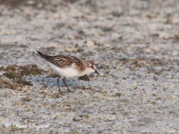Kleine Santrandloper Vogelreis Portugal