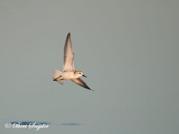 Kleine Strandloper Vogelreis Portugal