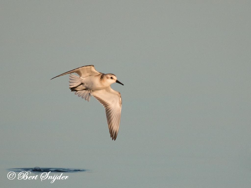 Kleine Santrandloper Vogelvakantie Portugal