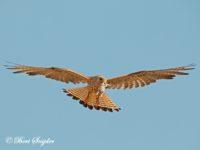Kleine Torenvalk Vogelfotografiereis Portugal