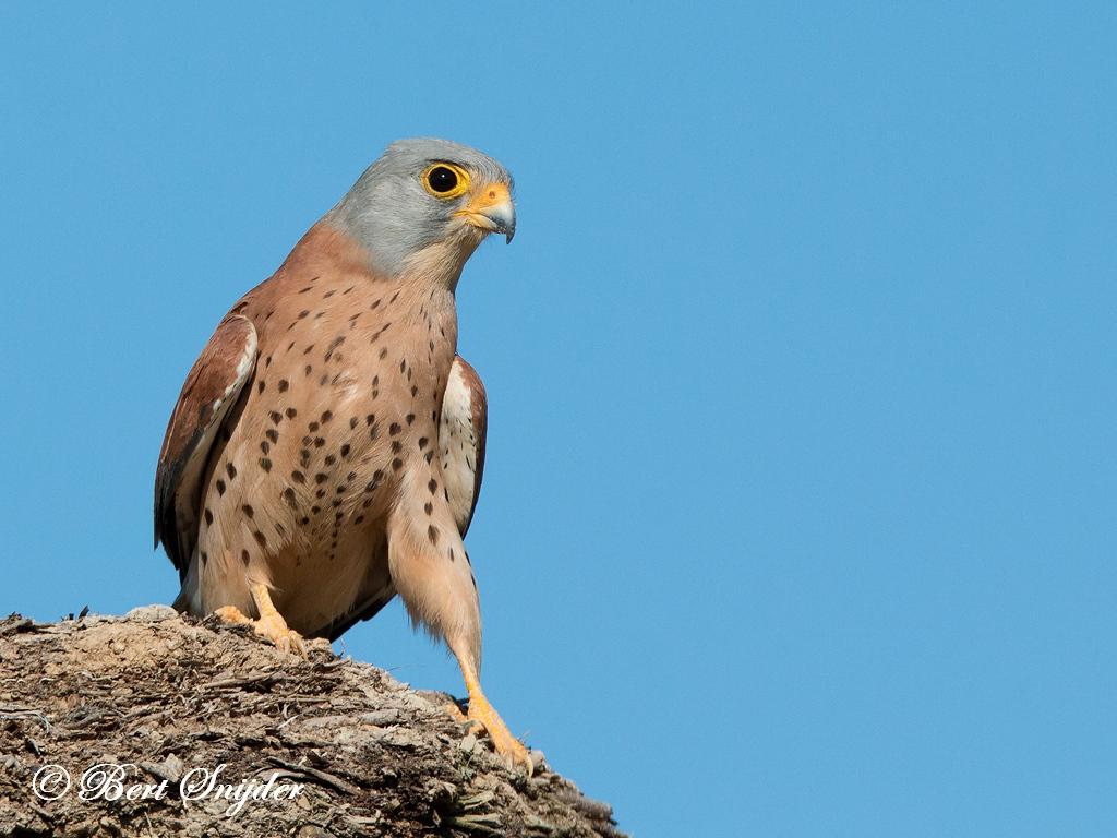 Kleine Torenvalk Vogelhut BSP 6 Portugal