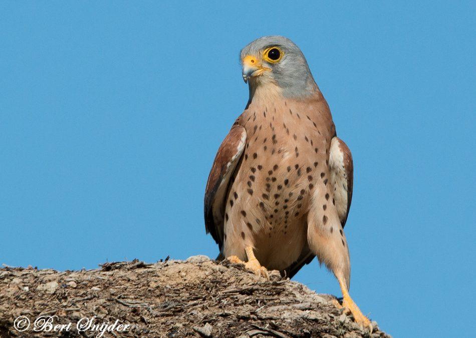 Kleine Torenvalk Vogelhut BSP6 Portugal